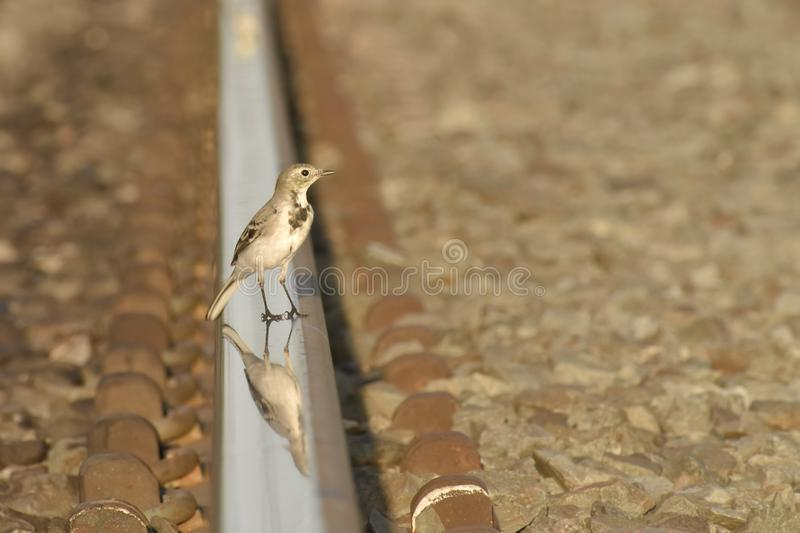 Wagtail stands on the rail for the train. A small wagtail bird, stands sideways on a rail for a train, on a natural blurred background stock photography