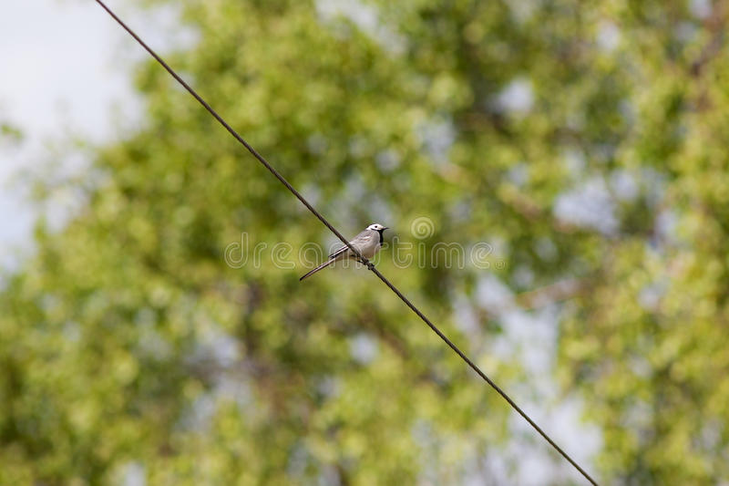 Wagtail on a wire stock photography