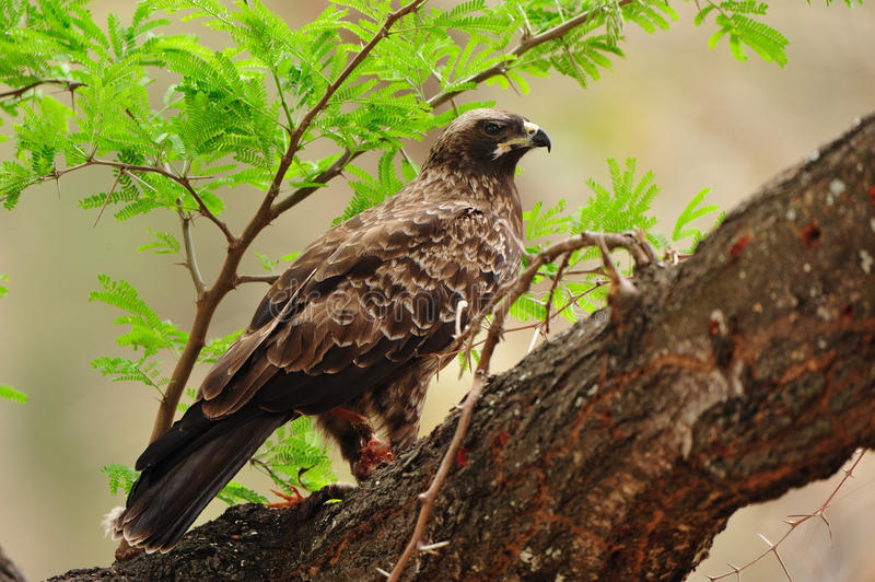 Wahlberg S Eagle (Aquila Wahlbergi) Stock Image