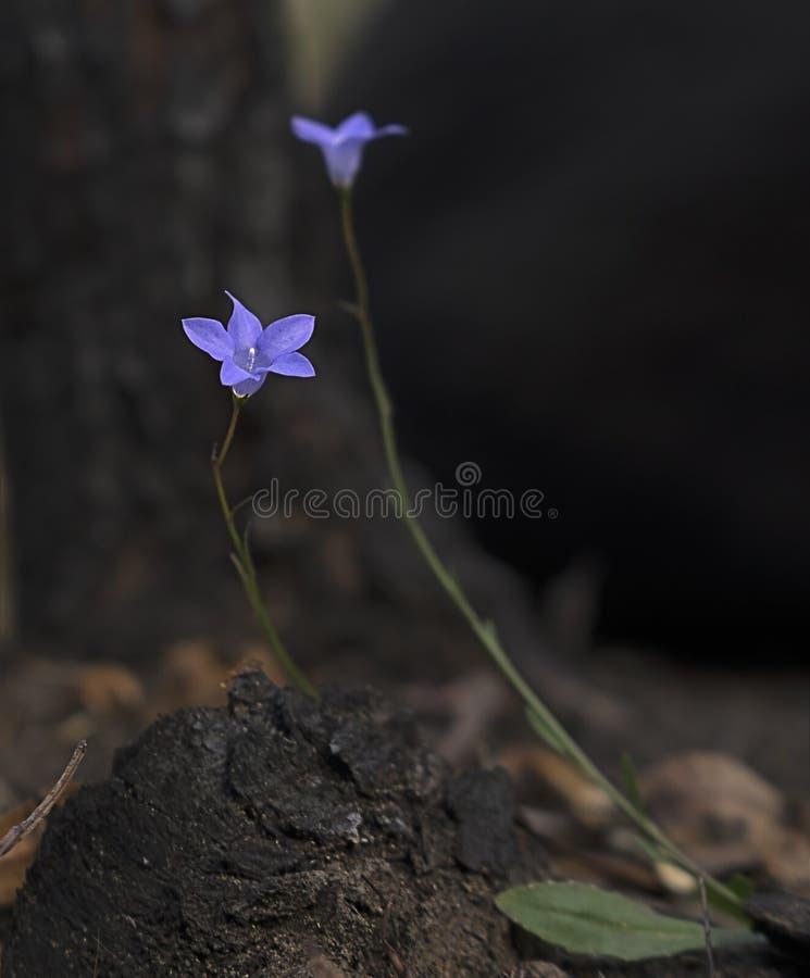 Wahlenbergia, wildflower australiano, campainha nativa fotografia de stock royalty free