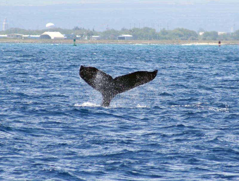Waikiki humpback whale stock photography