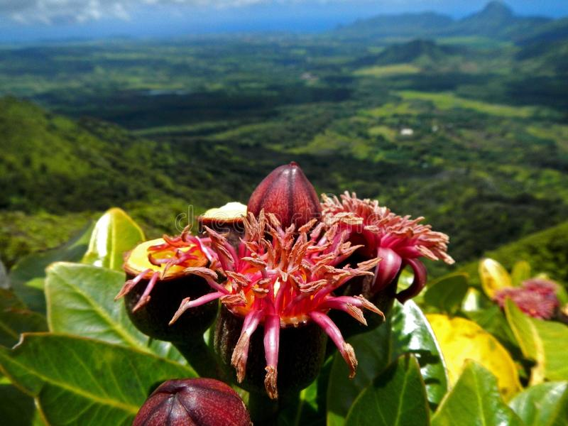 Waimeae Polyscias стоковая фотография