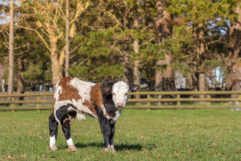 Waisenfrühlings-Kalb mit Kuh-Fell stockfoto