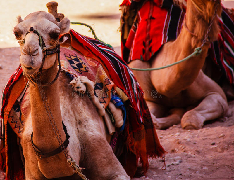 Waiting Camels. Camels wait for their owner to return with tourists to carry in Petra, Jordan royalty free stock photography