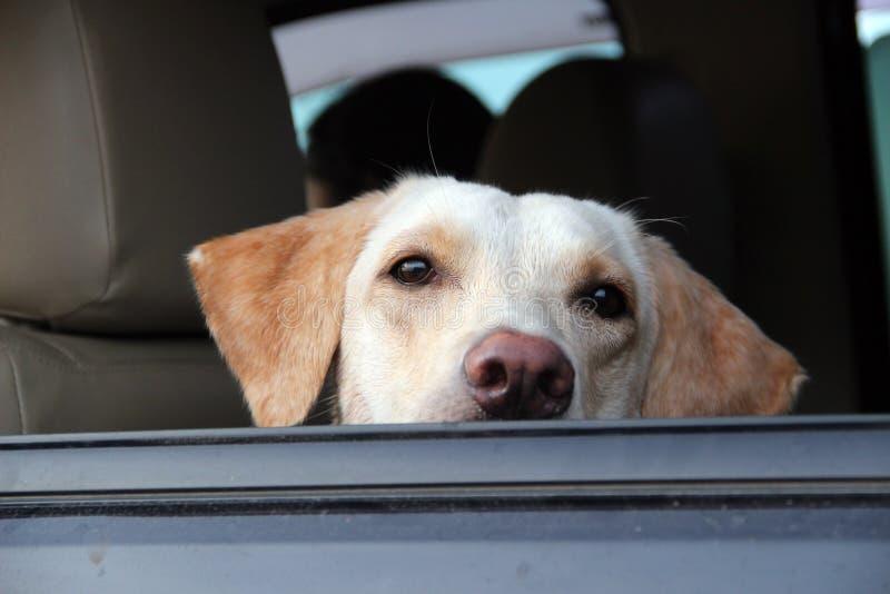 Waiting dog royalty free stock photo