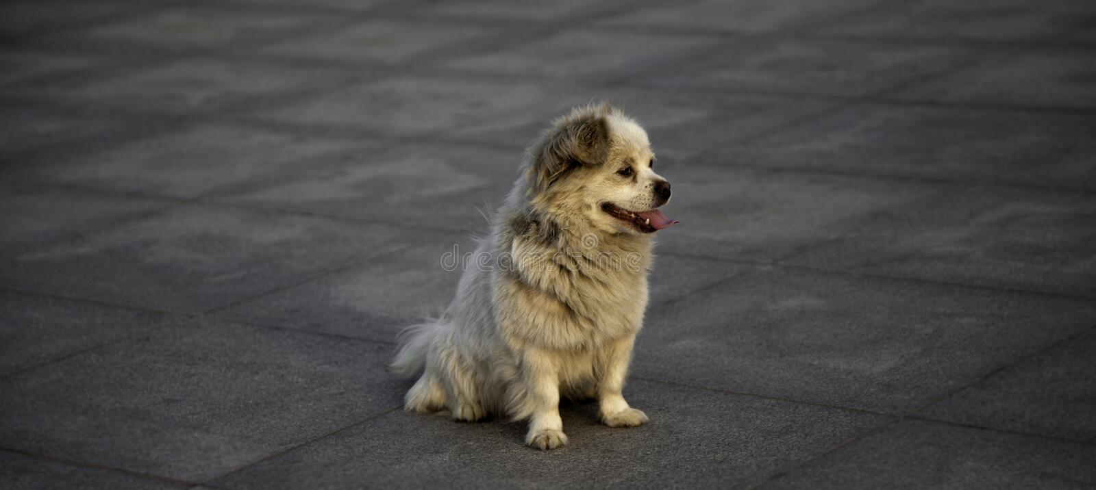 Download A waiting dog stock image. Image of alone, owner, lonely - 31746305