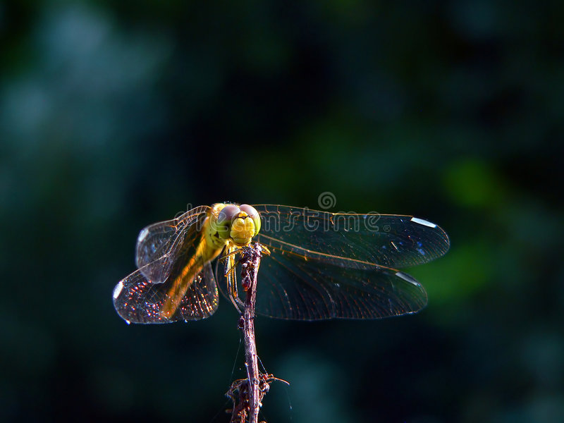 Download Waiting Dragonfly Royalty Free Stock Photo - Image: 3858775
