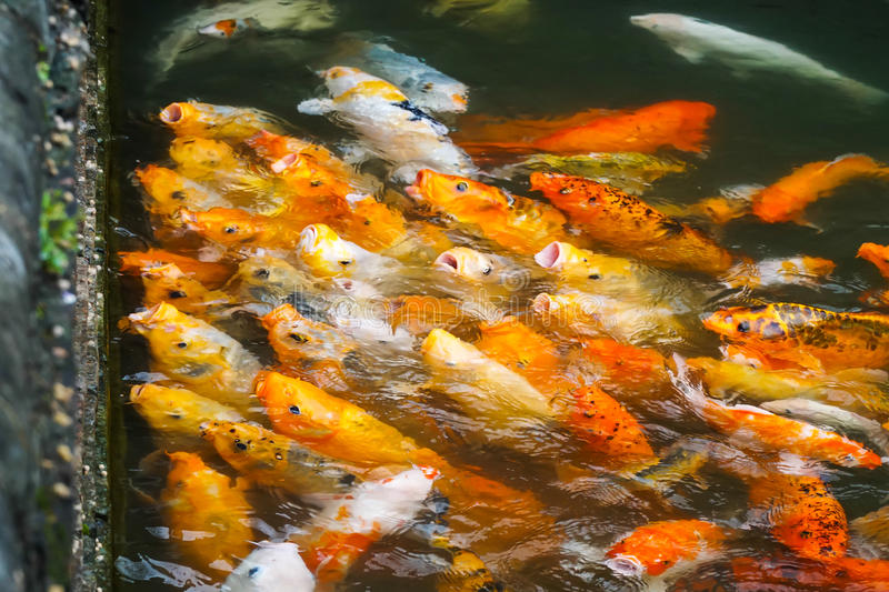 Waiting for food. Koi fish waiting to be fed