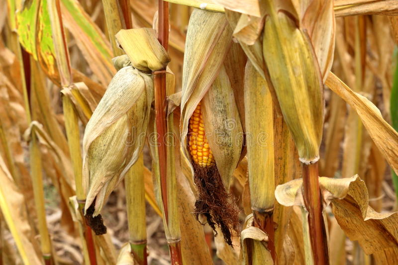 Waiting for Harvest. Dried ears of yellow dent corn hang upside down on their stalks, waiting for harvest royalty free stock photo