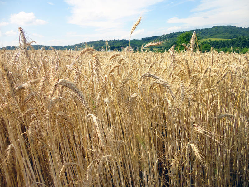 Waiting for harvest. stock photography