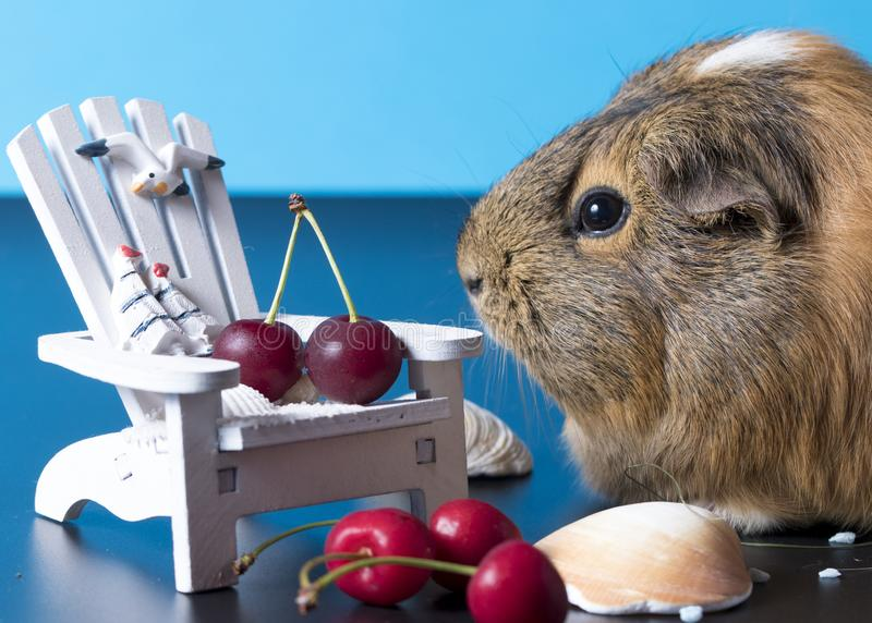 Waiting for holiday with a cute guinea pig stock photo