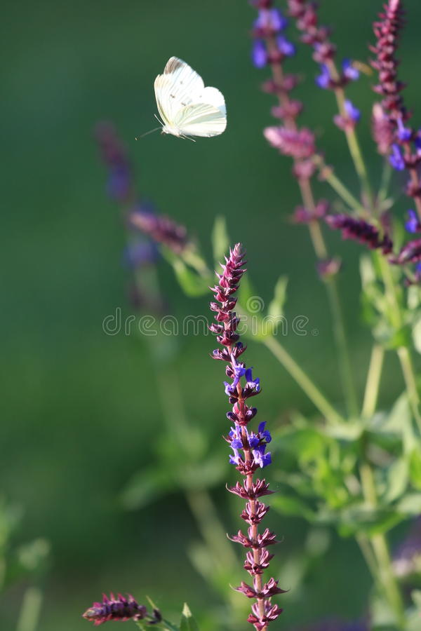 Waiting for love. Before leaving a holding of the beginning of the lavender bouquet, so that the infatuated girl with the beginning of the lavender bouquet test royalty free stock photo