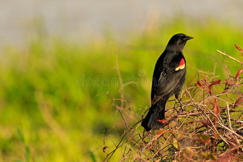 Red Winged Black Bird. Waiting for a mate at Bald Knob Wildlife Refuge in Bald Knob Arkansas 2017 stock image