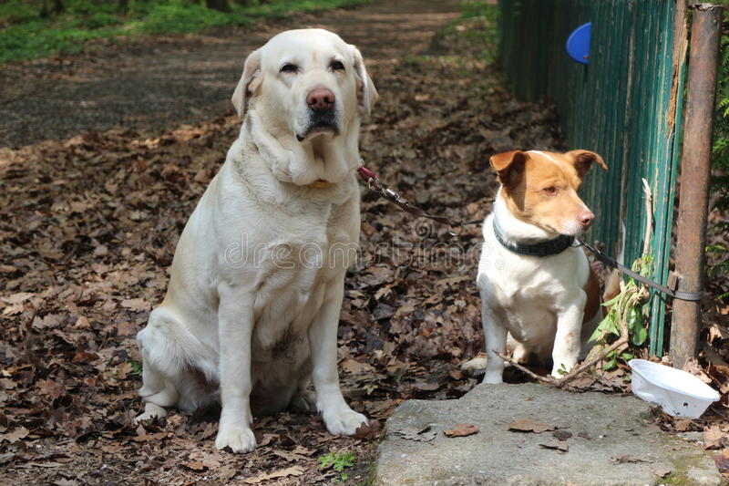 Waiting retriever and crossbreed dog stock photography