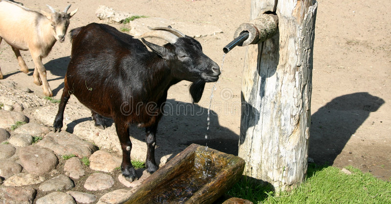 Download Waiting in the row... stock photo. Image of nature, goat - 21434