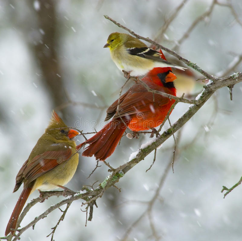Download Waiting Their Turn stock photo. Image of cardinal, lesser - 14164718