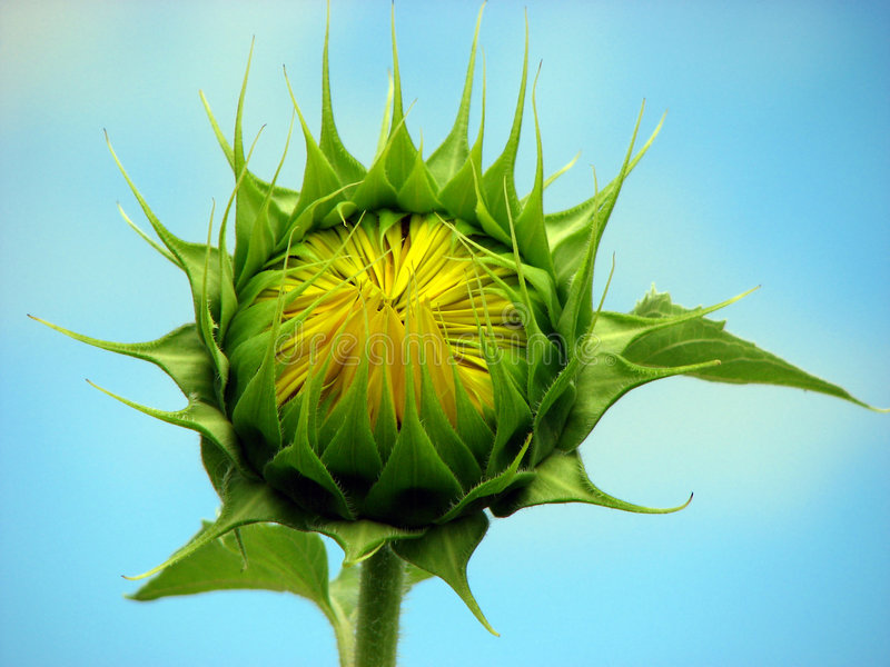 Waiting to Bloom. A sunflower bud waiting to bloom at sunrise royalty free stock photo
