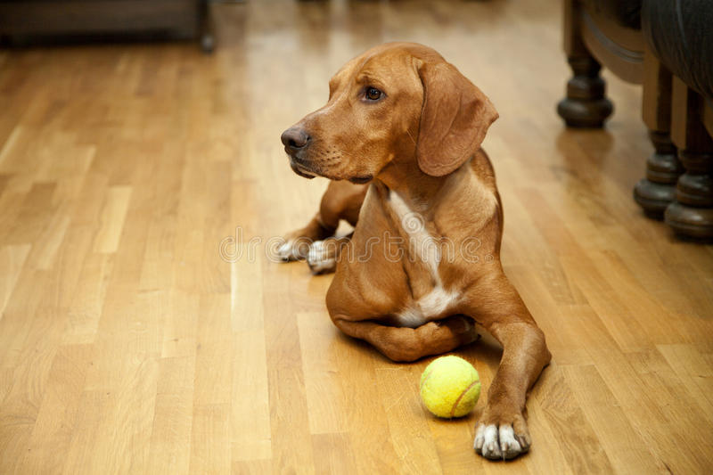 Waiting to play in house. Dog waiting to play in house stock photos