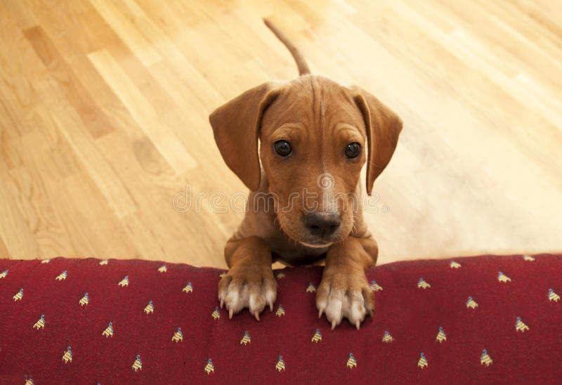 Waiting to play in house. Puppy waiting to play in house royalty free stock photos