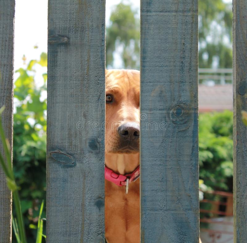 Waiting and Watching. A dog sitting behing a garden fence royalty free stock photography