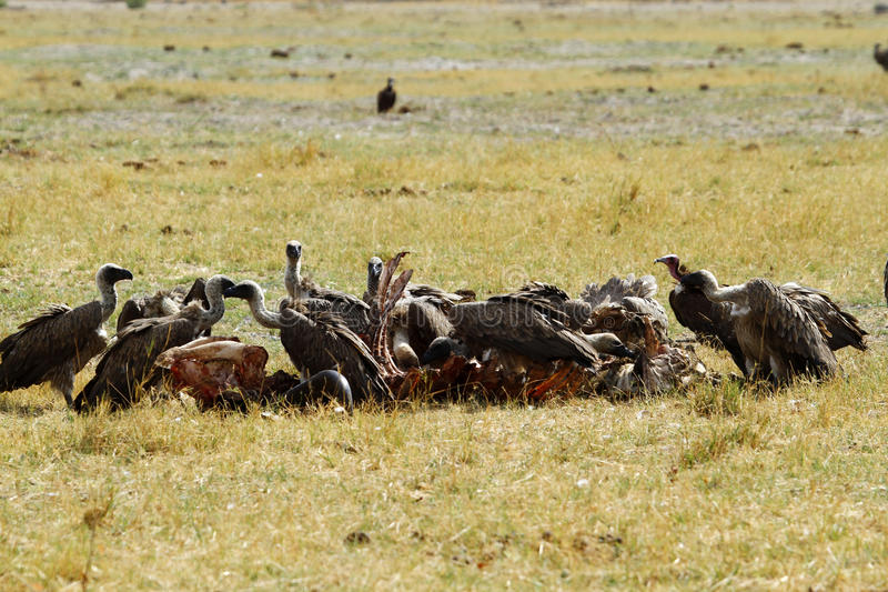 A wake of Old World Vultures. Feasting on a Hippo carcass these scavengers, Hooded, White-Backed & lappet-Faced Vultures are becoming an endangered species stock images