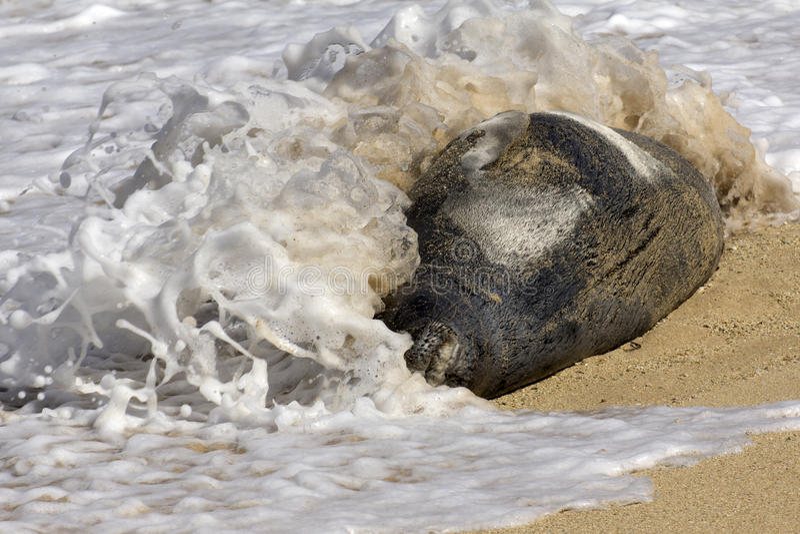 Wake up!. Surf pounds a sleeping Hawaiian Monk Seal on the beach of the Waikiki Marine Life Conservation District, on the island of O'ahu, Hawai'i, USA stock images