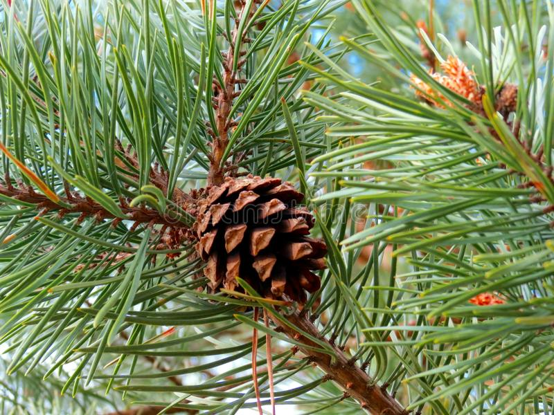 Evergreen branches of pines with cones royalty free stock photography