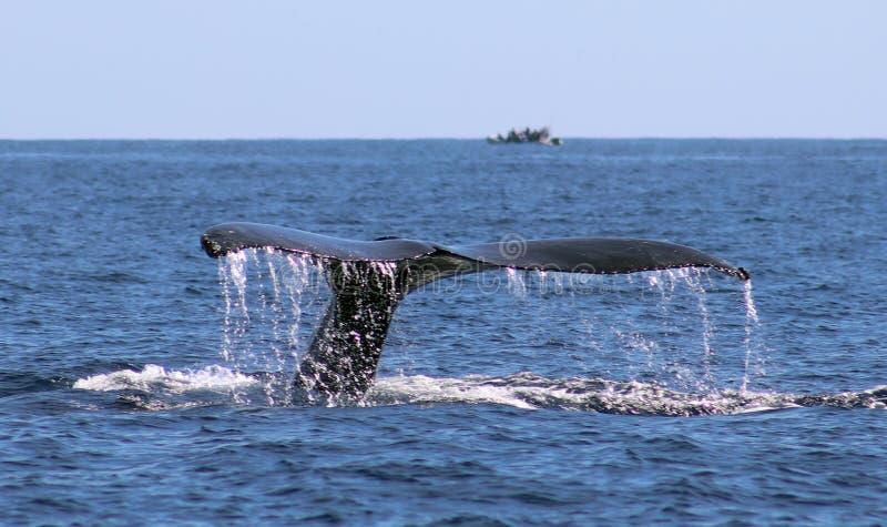 Wal an ausgezeichneter Ansicht Los Cabos Mexiko der Familie der Wale in Pazifischem Ozean stockbilder