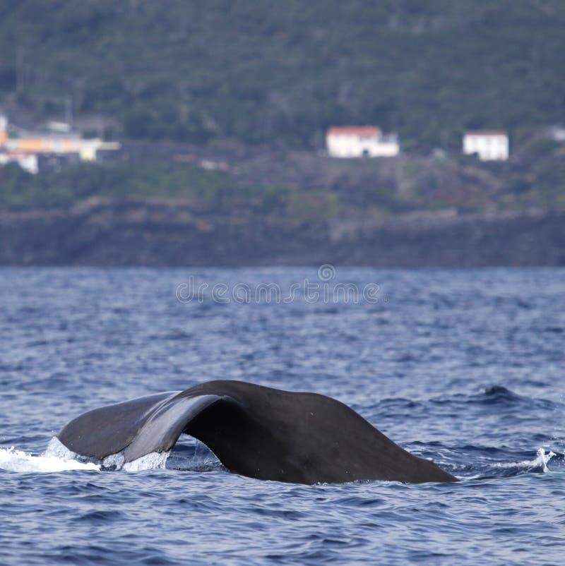 Wal, der Azoren-Inseln - Pottwal 03 überwacht lizenzfreie stockfotografie