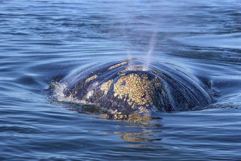 Wal, der in Baja aufpasst lizenzfreies stockbild