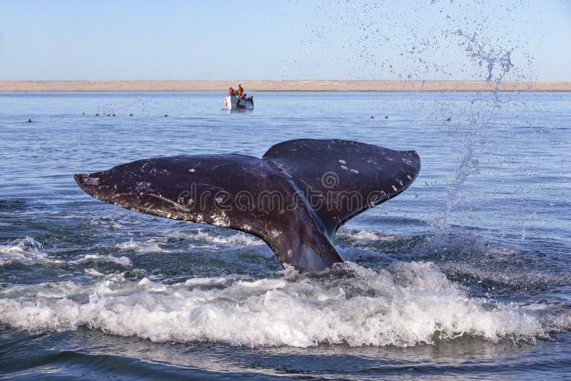 Wal, der in Baja aufpasst stockfoto