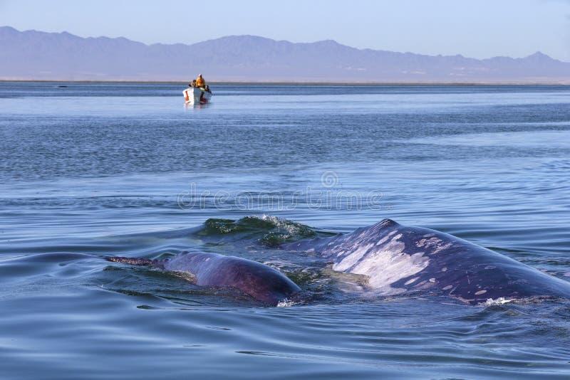 Wal, der in Baja aufpasst stockbilder