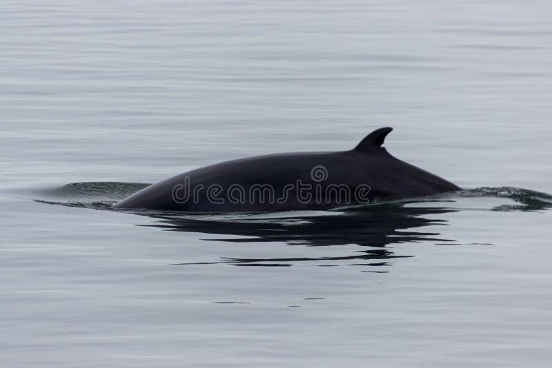 Wal, der in Tadoussac aufpasst lizenzfreie stockfotos