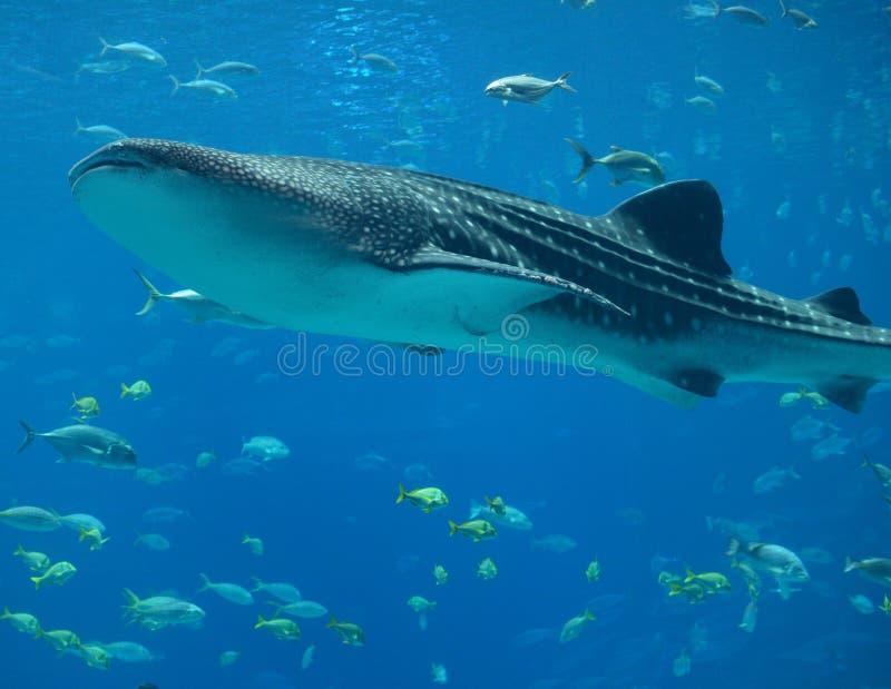 Wal-Haifisch stockbilder