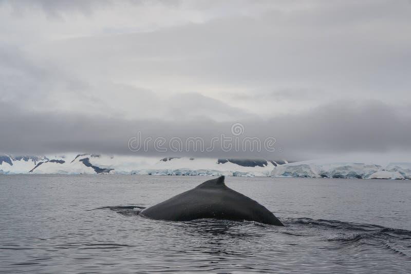 Wal mit Flosse heraus schwimmend im antarktischen Wasser lizenzfreies stockbild