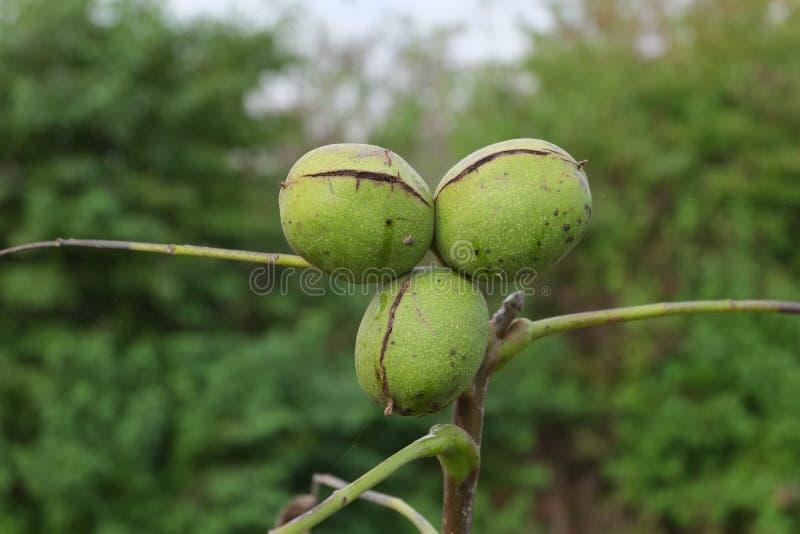 walachian坚果成熟的庭院材料  免版税库存照片