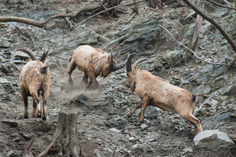 Walczący Zachodni Kaukaski tur zdjęcia royalty free