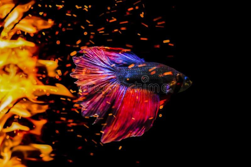 Walcząca ryba, Betta ryba, siamese bój ryby pływanie w płomieni b zdjęcie royalty free