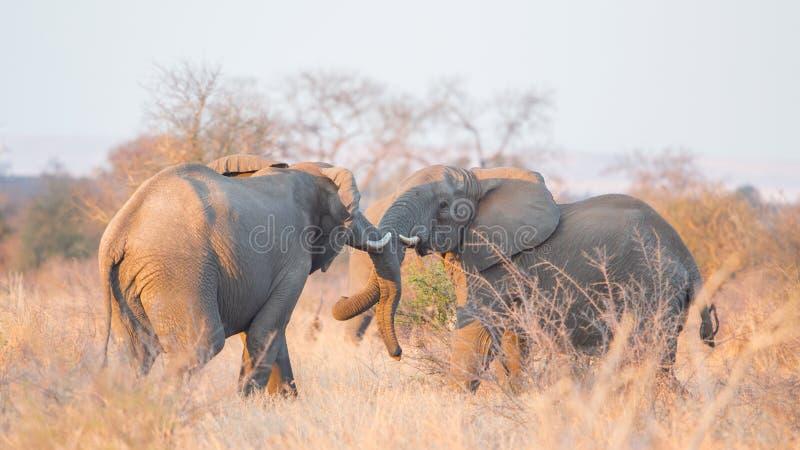 Walczący afrykańscy słonie w sawannie, Kruger park, Południowa Afryka obraz stock