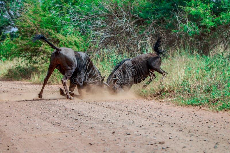 Walczący Błękitny wildebeest obrazy royalty free