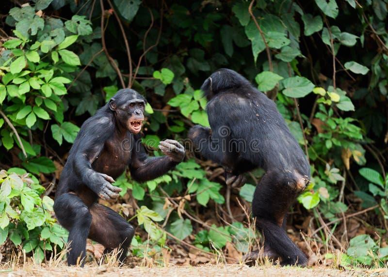 Walczący Bonobos (niecki paniscus). Przy krótką odległością, zamyka up. zdjęcia stock
