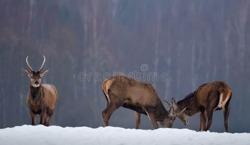 Walczący Deers: Kilka Młody Jeleni Spiczak Znajduje Za związku Dwa Czerwonych rogaczy jeleni Cervus Elaphus bój W zimie zdjęcia stock
