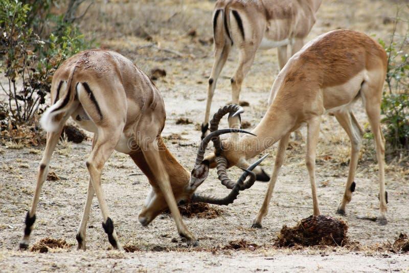 walczący impalas obraz royalty free