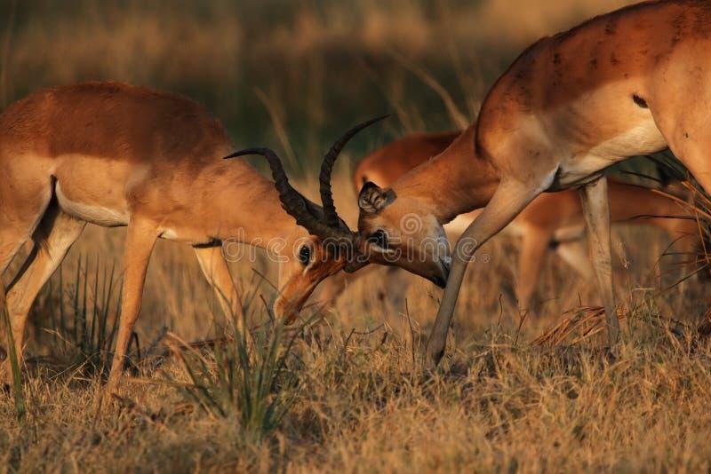 walczący impalas obrazy royalty free