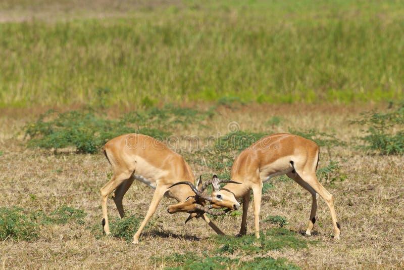 walczący impalas dwa fotografia royalty free