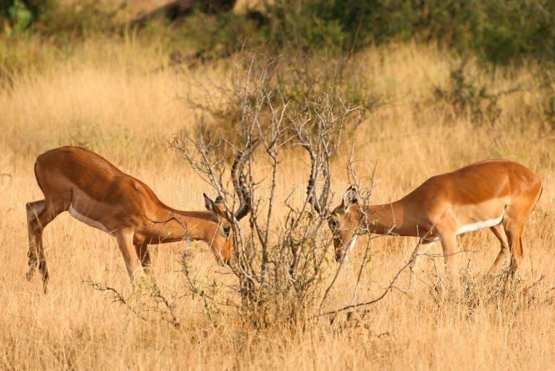 walczący impalas Ken park narodowy samburu dwa fotografia stock