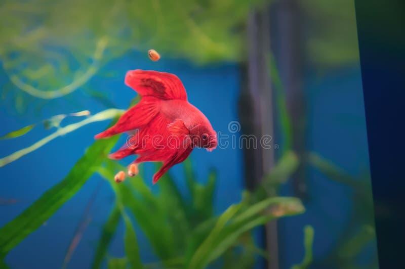walczący rybi czerwony siamese Betta ryba w akwarium Tajlandzka bój ryba popularna jako akwarium ryba na tle zielone algi fotografia royalty free