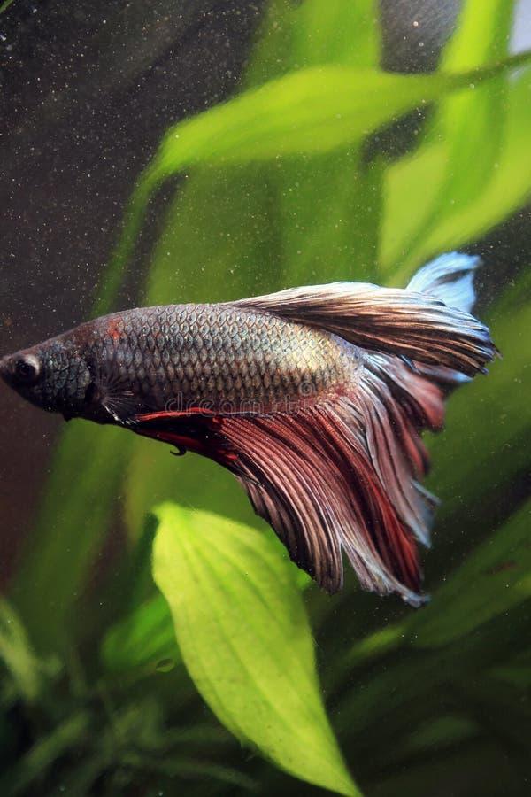 Walczący rybi Tajlandia w akwarium zdjęcie stock