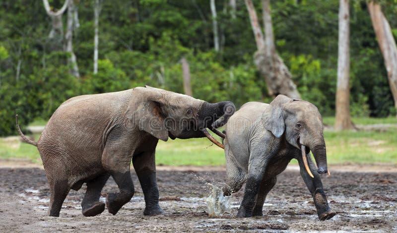 Walczący słonie obrazy stock