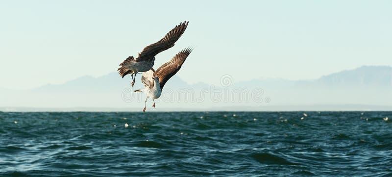 Walczący seagulls zdjęcie stock